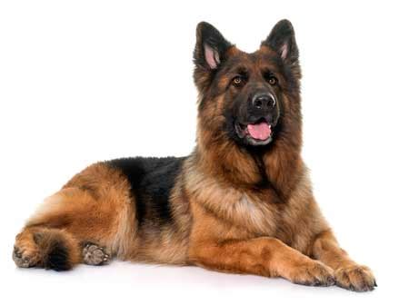 200+ Amazing German Shepherd Names With Meanings!  Updated