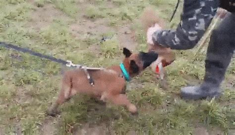 Malinois GIFs - Find & Share on GIPHY
