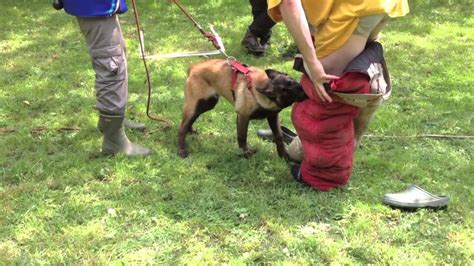 Khéops chiot malinois 6 mois pension-dressage - YouTube