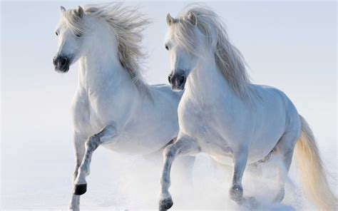 White Horse Walking In The Snow Wallpaper 5120x3200