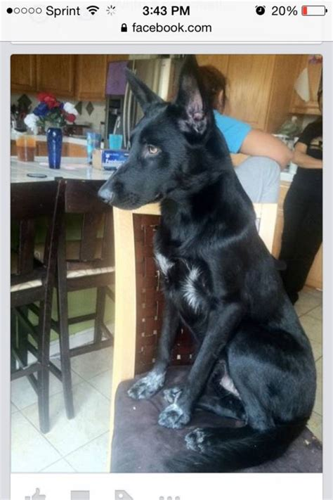 Black Belgian Malinois? Mix or pure? - Page 1