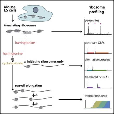 Ribosome Profiling of Mouse Embryonic Stem Cells Reveals