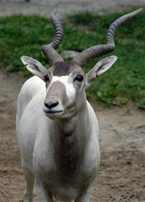 Chicago Zoological Society - Addax